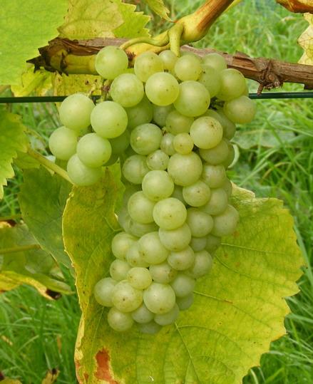 Les varits de vignes planter en belgique - Maladie du raisin photo ...