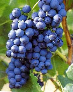 Maladies cryptogamiques de la vigne au