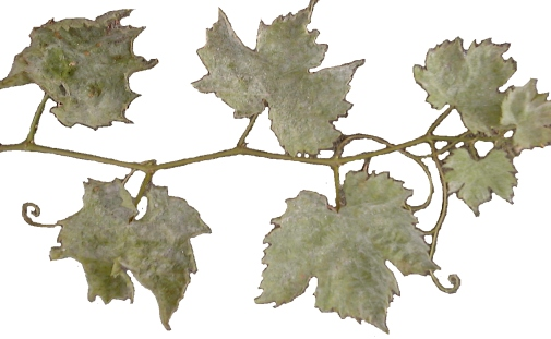 traitement soufre vigne