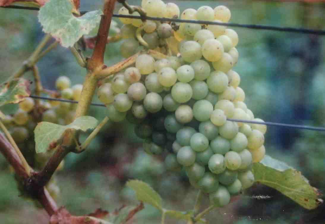 Les varits de vignes planter en belgique - Planter vigne raisin de table ...